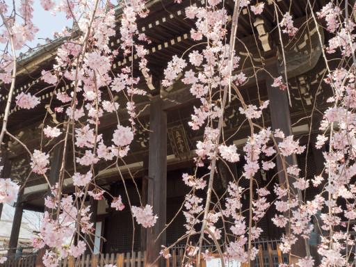 桜 立本寺(京都市上京区)