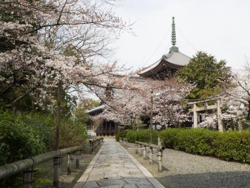 桜 本法寺(京都市上京区)