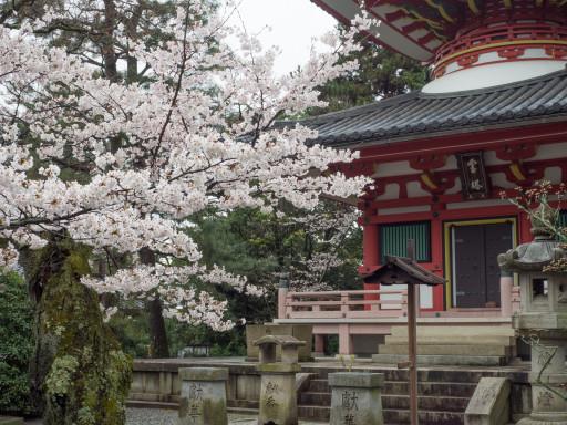 桜 知恩院(京都市東山区)