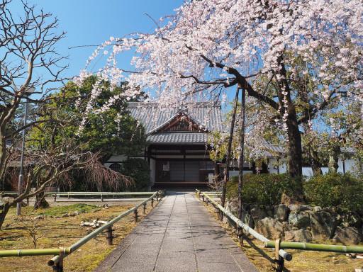 桜(早咲き) 上品蓮台寺(京都市北区)