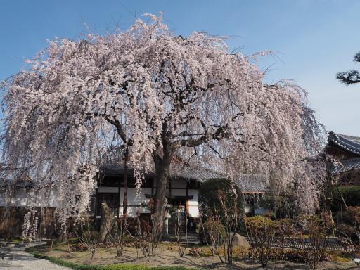 桜(早咲き) 本満寺(京都市上京区)