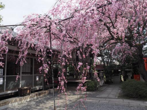 桜(早咲き) 水火天満宮(京都市上京区)