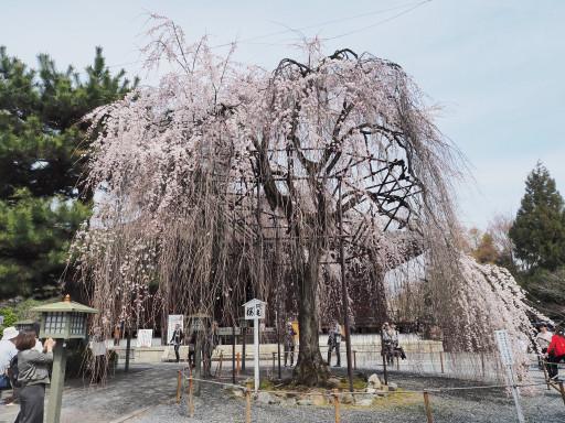 桜(早咲き) 千本釈迦堂 大報恩寺(京都市上京区)