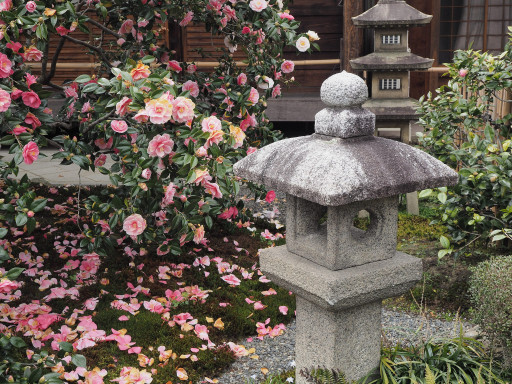 散椿 地蔵院(椿寺)(京都市北区)
