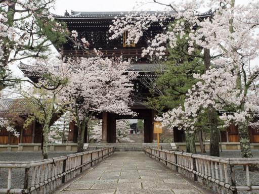 桜 金戒光明寺(京都市左京区)