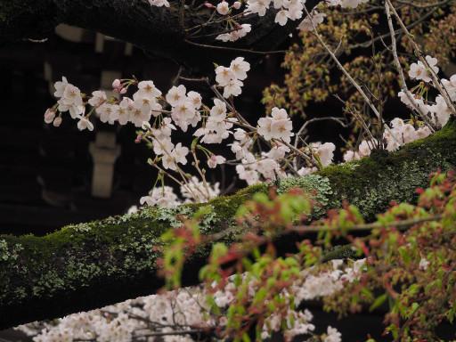 桜 真正極楽寺 真如堂(京都市左京区)
