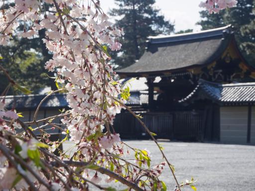 桜(遅咲き) 京都御苑(京都市上京区)