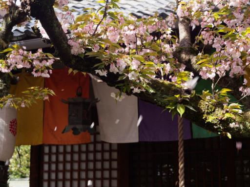 桜散る 雨宝院(京都市上京区)