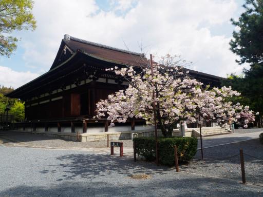 桜(遅咲き) 千本釈迦堂 大報恩寺(京都市上京区)